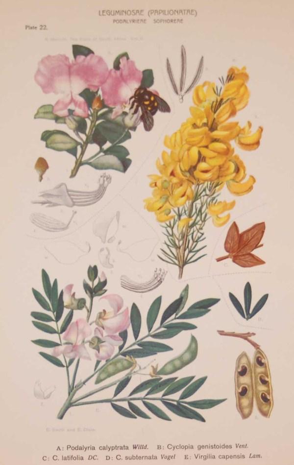 Original 1925 vintage botanical print titled Leguminoseae Papilionatae Plate 22 by Rudolph Marloth