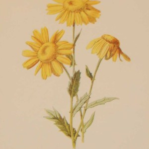 Antique botanical print titled Corn Marigold by F E Hulme. The print was published circa 1895, this set of prints are referenced as being produced between 1885 and 1895.