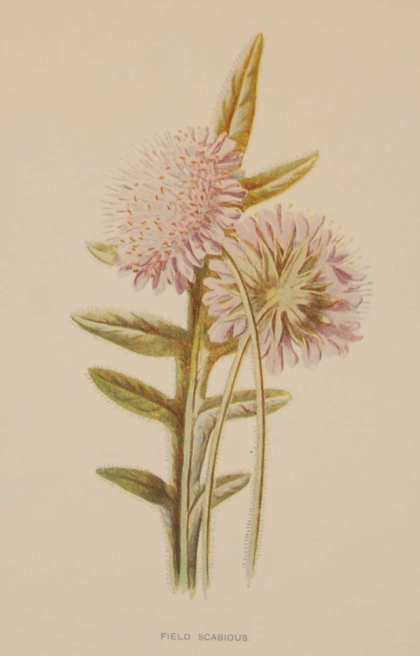 Antique botanical print titled Field Scabious by F E Hulme. The print was published circa 1895, this set of prints are referenced as being produced between 1885 and 1895.