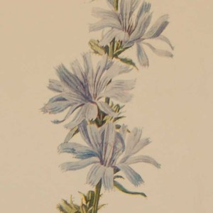 Antique botanical print titled Succory by F E Hulme. The print was published circa 1895, this set of prints are referenced as being produced between 1885 and 1895.
