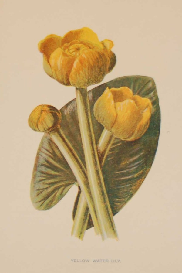 Antique botanical print titled Yellow Water-Lily by F E Hulme. The print was published circa 1895, this set of prints are referenced as being produced between 1885 and 1895.