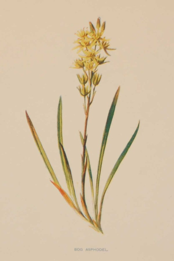 Antique botanical print titled Bog Asphodel by F E Hulme. The print was published circa 1895.