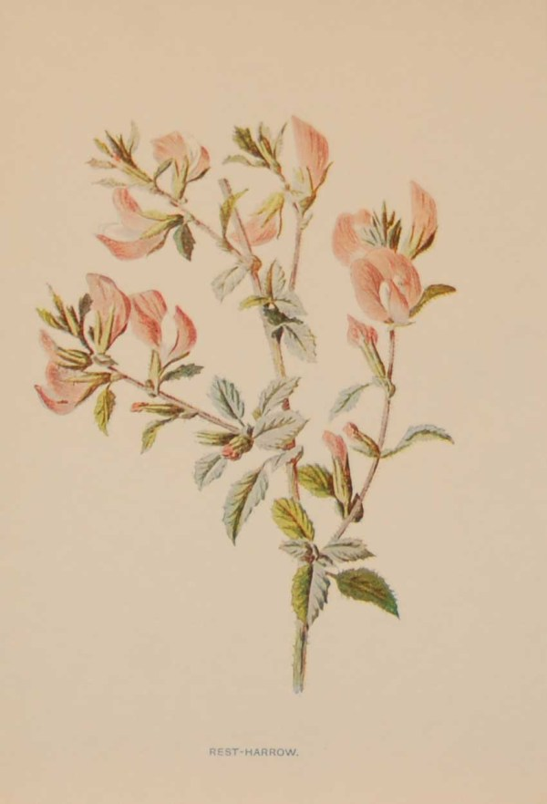 Antique botanical print titled Rest Harrow by F E Hulme. The print was published circa 1895.