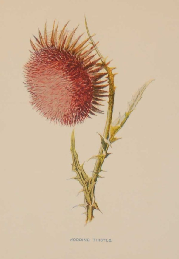 Antique botanical print titled Nodding Thistle by F E Hulme. The print was published circa 1895.