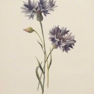 Antique botanical print titled Corn Blue-Bottle by F E Hulme. The print was published circa 1895.