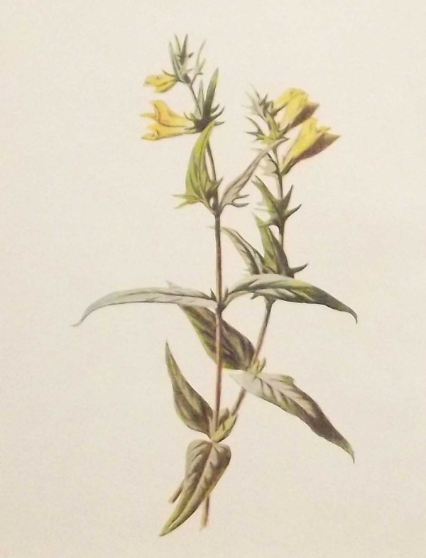 Antique botanical print titled Cow Wheat or Melampyre by F E Hulme. The print was published circa 1895.