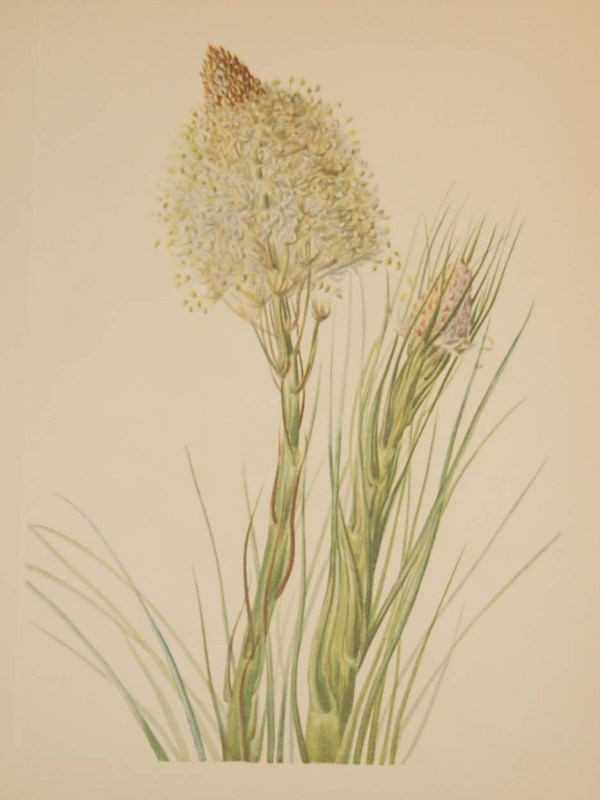 Vintage botanical print from 1925 by Mary Vaux Walcott titled Beargrass, stamped with initials and dated bottom left.