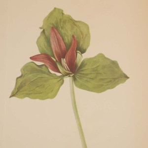 Vintage botanical print from 1925 by Mary Vaux Walcott titled Giant Trillium, stamped with initials and dated bottom left.