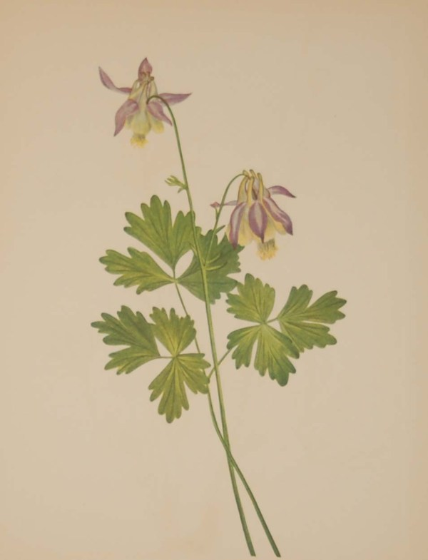 Vintage botanical print from 1925 by Mary Vaux Walcott titled Shortspur Columbine , stamped with initials and dated bottom left.