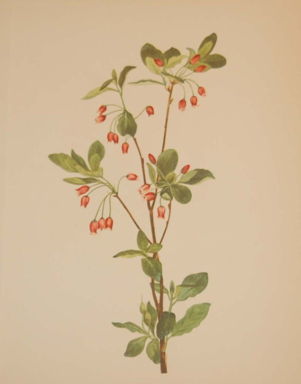 Vintage botanical print from 1925 by Mary Vaux Walcott titled Western Menziesia, stamped with initials and dated bottom left.