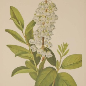 Vintage botanical print from 1925 by Mary Vaux Walcott titled Zenobia, stamped with initials and dated bottom left.