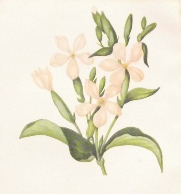 Antique Botanical print by Anne Pratt titled Common Soapwort. Pratt was one of the best known botanical illustrators of the time.