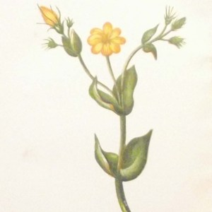 Antique Botanical print by Anne Pratt titled Perfoliate Yellow Wort. Pratt was one of the best known botanical illustrators of the time.