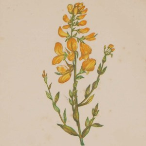 Antique Botanical prints by Anne Pratt titled, Colt's Foot, Dyer's Green Weed. Pratt was one of the best known botanical illustrators of the time.