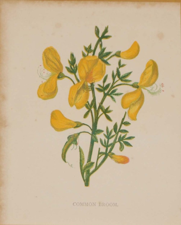 Antique Botanical prints by Anne Pratt titled, Common Broom, Furze. Pratt was one of the best known botanical illustrators of the time.