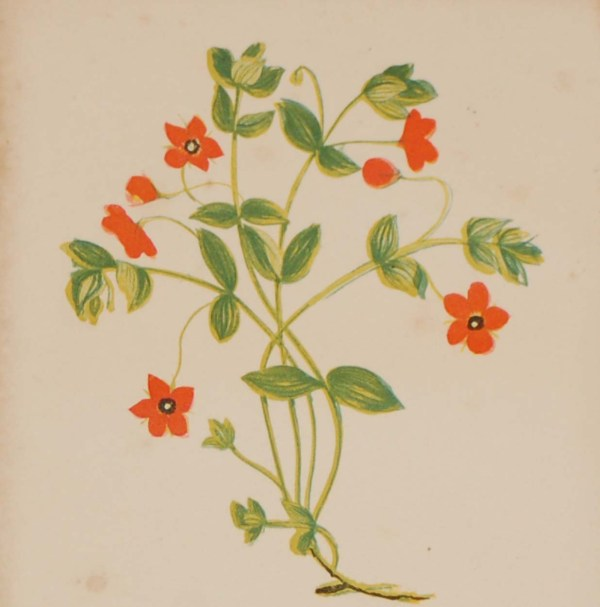 Antique Botanical prints by Anne Pratt titled, Scarlet Pimpernel, Long Prickly Headed Poppy. Pratt was one of the best known botanical illustrators of the time.