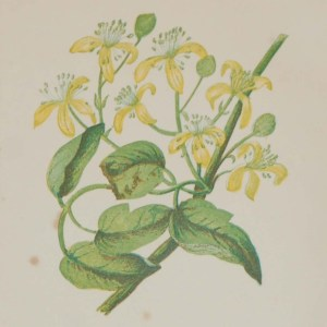 Antique Botanical prints by Anne Pratt titled, Travellers Joy, Red Berried Byrony. Pratt was one of the best known botanical illustrators of the time.