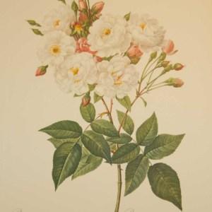 Beautiful vintage print after the legendary painter of Roses, P J Redouté, titled, Rosa Noisettiana, Rosier de Phillipe Noisette.
