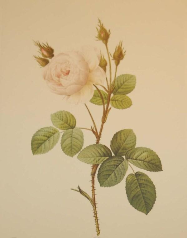 Beautiful vintage print after the legendary painter of Roses, P J Redouté, titled, Rosa Muscosa Alba, Rosier Mousseux á fleurs blanches.