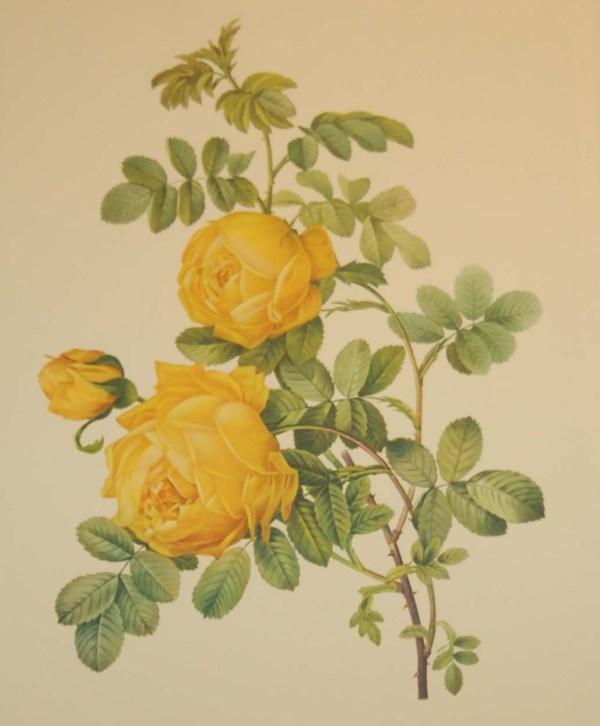 Beautiful vintage print after the legendary painter of Roses, P J Redouté, titled, Rosa Sulfurea, Rosier jaune de soufre.