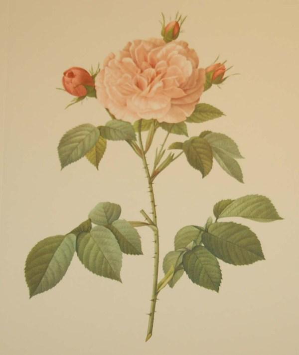 Beautiful vintage botanical print after the legendary painter of Roses, P J Redouté, titled, Rosa alba Regalis, Rosier blanc Royal.
