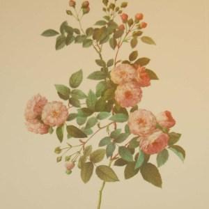 vintage botanical print after the legendary painter of Roses, P J Redouté, titled, Rosa Multiflora Carnea, Rosier Multiflora a fleurs Carnees.