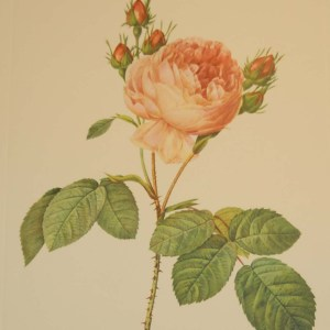 Beautiful vintage botanical print after the legendary painter of Roses, P J Redouté, titled, Rosa Centifolia, Rosierá cent feuilles.