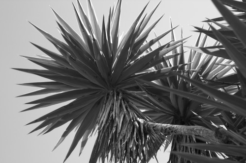 Palo de izote close up in Black and White by Rudy Giron