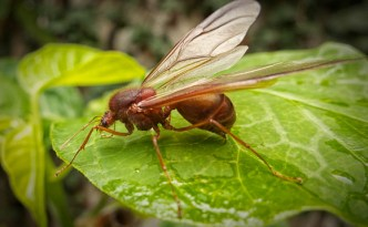 Facts And Myths About The Giant Guatemalan Sompopo Ant