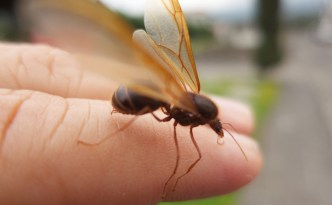 Meet The Giant Guatemalan Winged Leaf Cutter Ant Zompopo