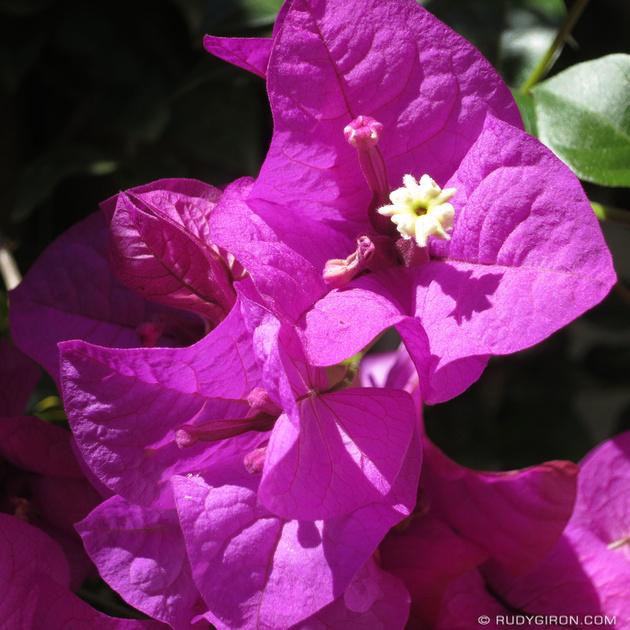 Rudy Giron: Instagrams &emdash; Antigua Colors: Fucsia