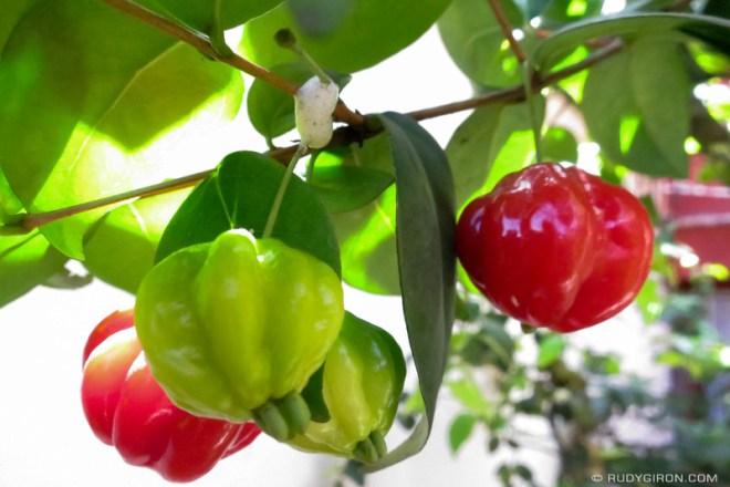 Rudy Giron: Antigua Guatemala &emdash; Strange and Bizarre Fruits from Guatemala — Pitanga