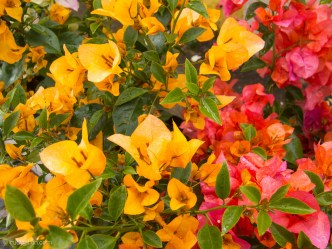 Bougainvillea Colors Yellow and Red by Rudy Giron