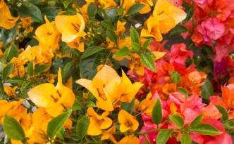 Flowers plants antiguadailyphoto the colors of antigua guatemala mightylinksfo