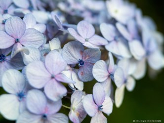 Close-up of Hydrangea macrophylla or Hortensias in Spanish BY RUDY GIRON