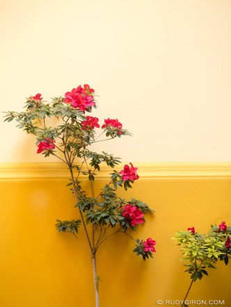 PHOTO STOCK: Fuchsia flowers against a beige and yellow wall