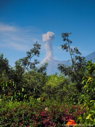 Fuego volcano eruption framed within the tree branches of a coffee plantation