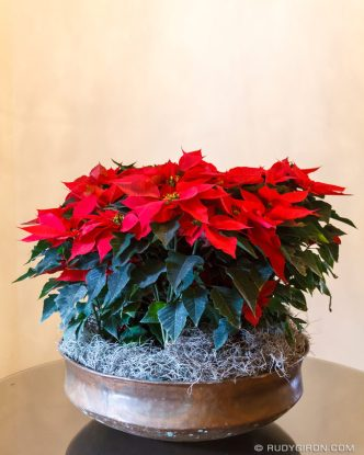 PHOTO STOCK: Guatemalan Christmas floral displays: Poinsettias