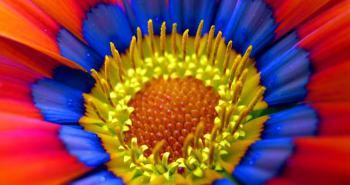 Τα γκαζάνια είναι πολυετές ποώδες φυτό με μεγάλη ποικιλία χρωμάτων και σχημάτων ανθέων που μοιάζουν με μαργαρίτες. Την βρίσκουμε σε κίτρινο , κόκκινο , πορτοκαλί , λευκό , μωβ και άλλα πολλά χρώματα. Επίσης  υπάρχουν διχρωμίες και τριχρωμίες χρωμάτων. Ανθίζει από τον Μάρτιο μέχρι και τέλη Νοέμβρη.