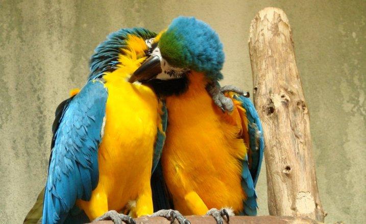 Παπαγάλοι Μακάο.