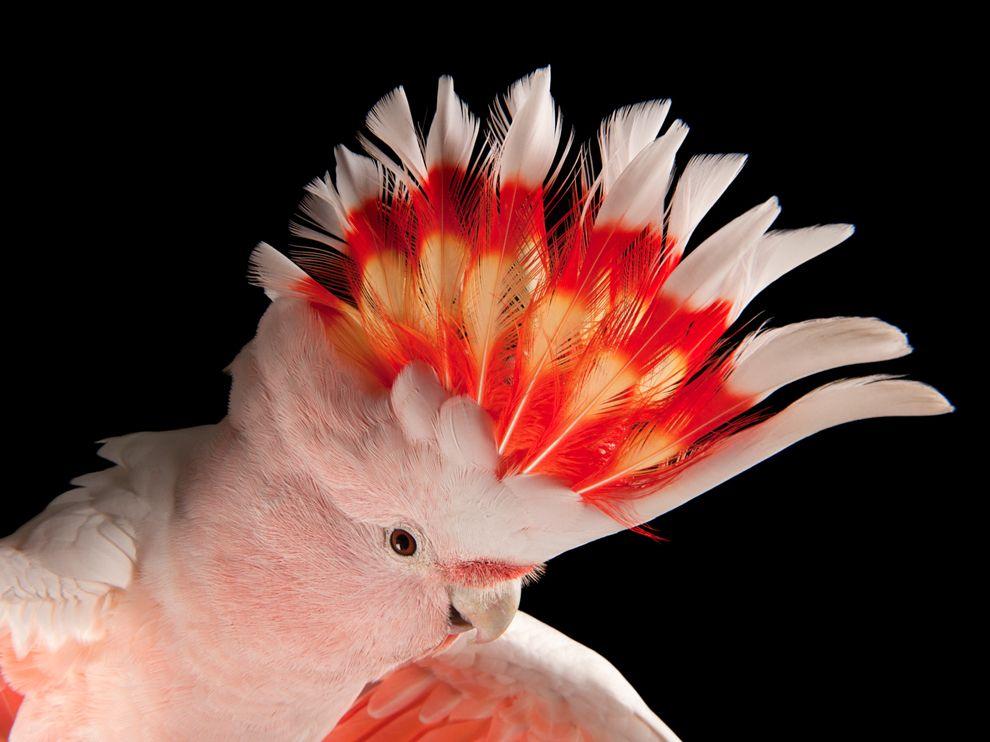 Παπαγάλος, ροζ είδος ψιττακού.