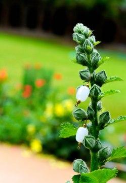 cotton flower 1