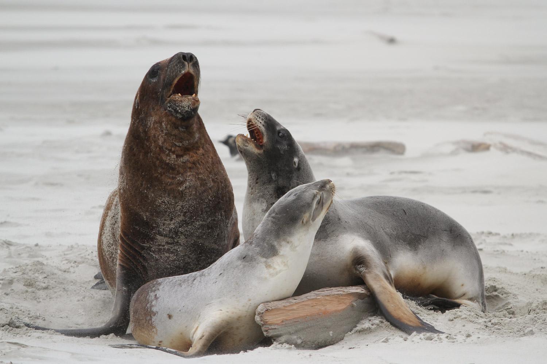 Les lions de mer s'expliquent