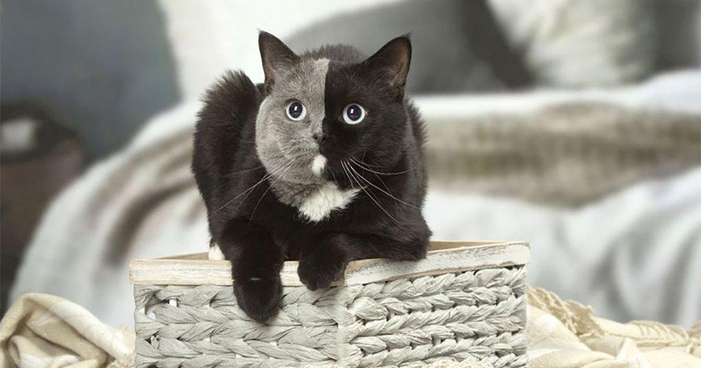 Котенок с самым редким окрасом в мире превратился в потрясающе красивую кошку-химеру