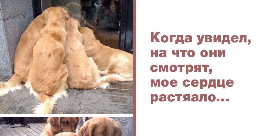 25 уверенных доводов, что лабрадоры и ретриверы – лучшие в мире собаки!