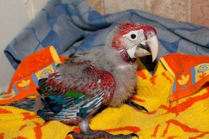 Девушка показала, как новорожденный птенец превращается в шикарного попугая