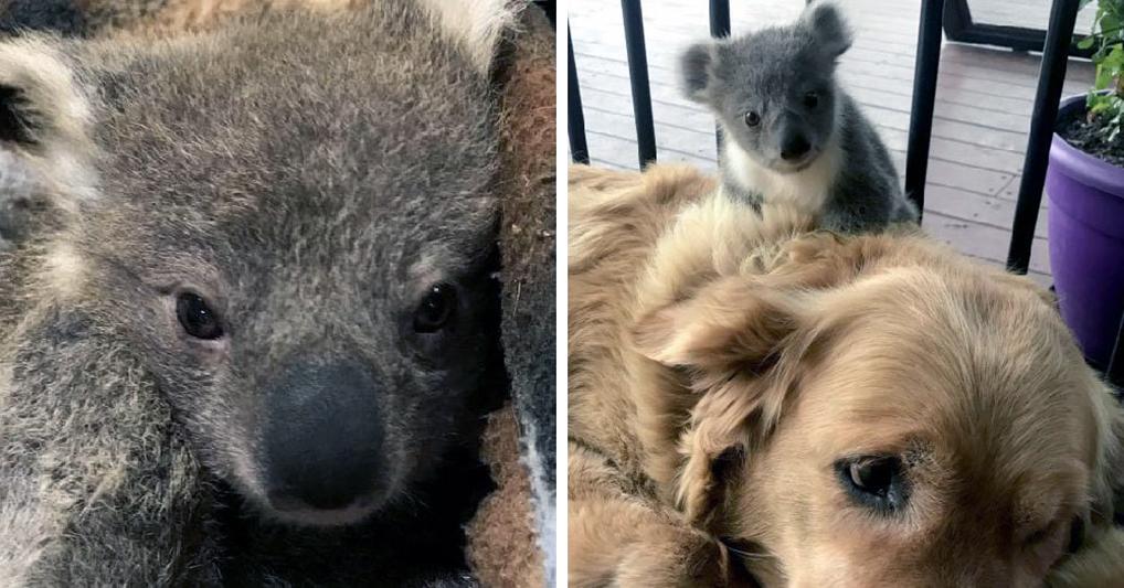 Собака притащила хозяевам домой детеныша коалы, чем спасла ему жизнь