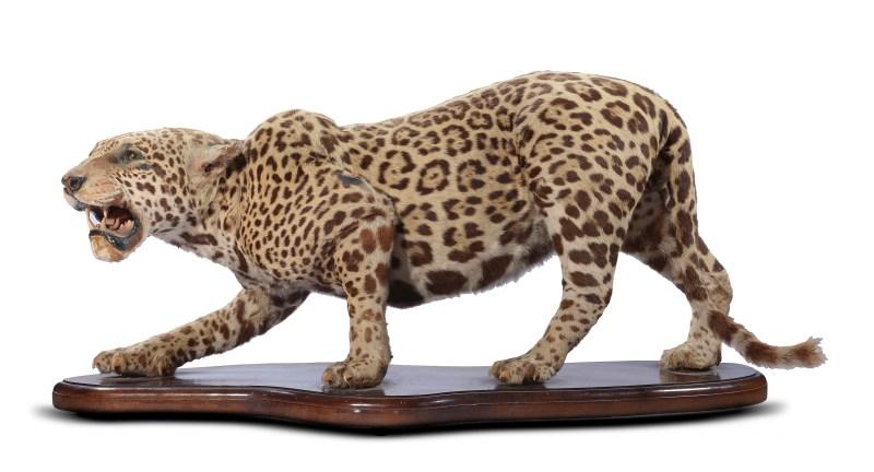 A taxidermy jaguar