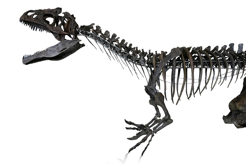The dinosaur skeleton for sale