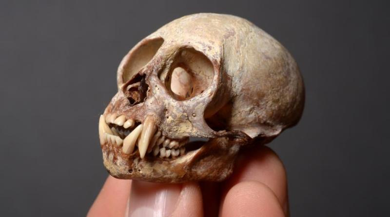 A skull of a monkey in sale